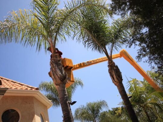 Palm Tree Trimming-Sunny Isles Beach FL Tree Trimming and Stump Grinding Services-We Offer Tree Trimming Services, Tree Removal, Tree Pruning, Tree Cutting, Residential and Commercial Tree Trimming Services, Storm Damage, Emergency Tree Removal, Land Clearing, Tree Companies, Tree Care Service, Stump Grinding, and we're the Best Tree Trimming Company Near You Guaranteed!